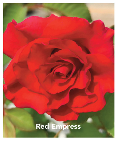 Brindabella Red Empress