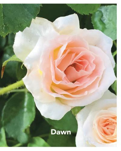 Brindabella Dawn