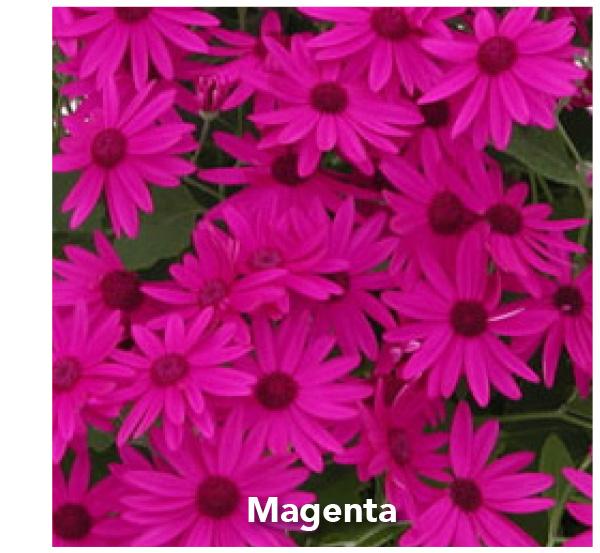 Senetti Magenta