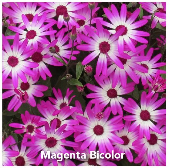 Senetti Magenta Bicolor