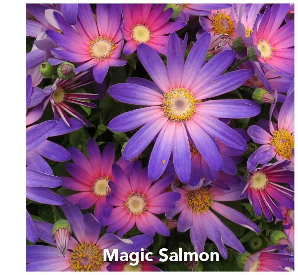 Senetti Magic Salmon