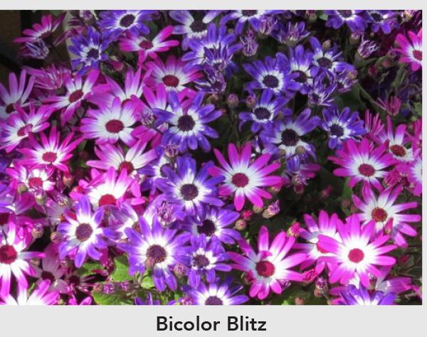 Bicolor Blitz