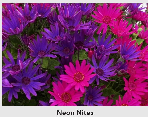 Neon Nites